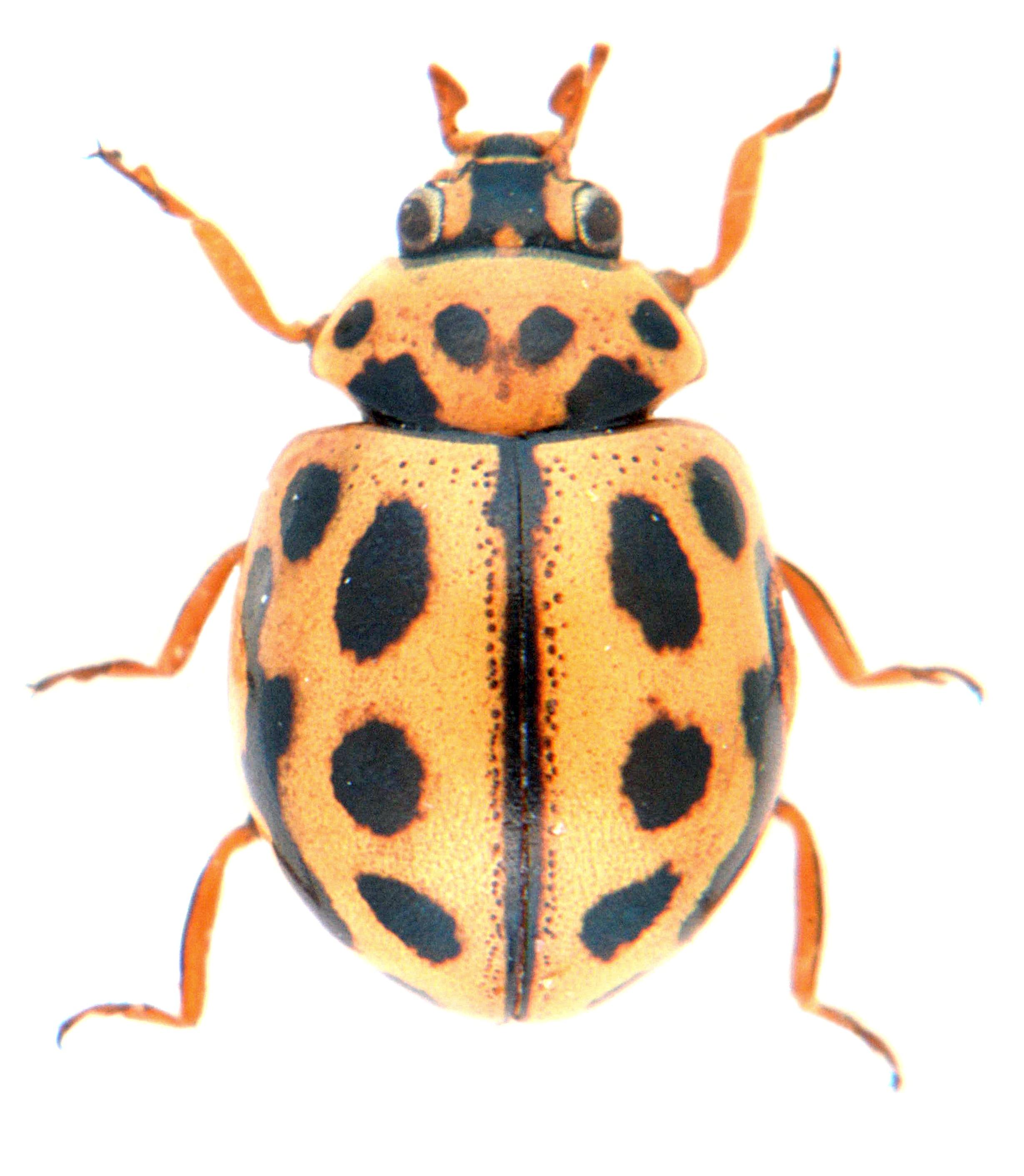 Tytthaspis sedecimpunctata 3