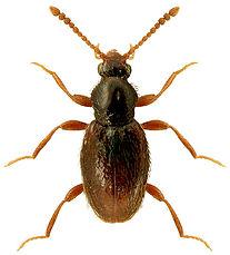 Stenichnus bicolor.jpg