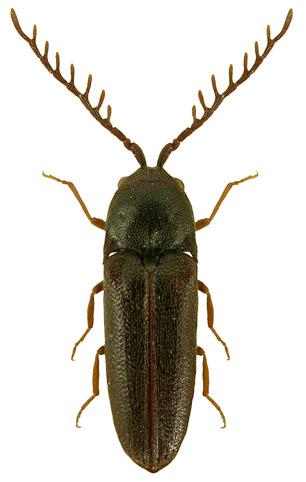 Microrhagus pygmaeus 2