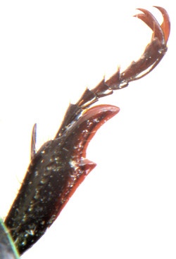 Anomala dubia front claw