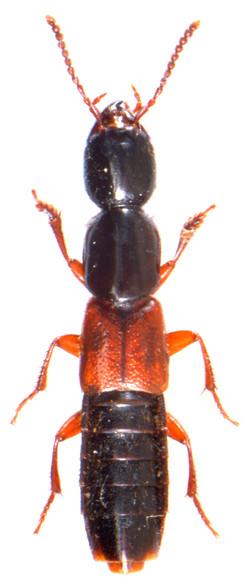 Othius punctulatus 1