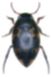 stictonectes_lepidus_1.jpg