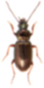 Pogonus chalceus 1.jpg