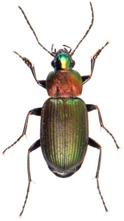 Chlaenius nigricornis 2