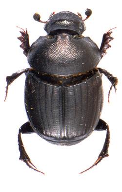 Onthophagus verticicornis 2a