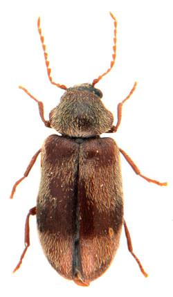 Ochina ptinoides 1