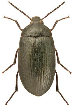 Prionychus melanarius 1