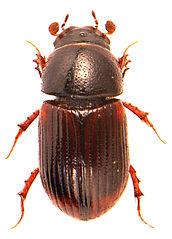 Planolinoides borealis 1.jpg