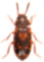 Mycetophagus multipunctatus 2.jpg