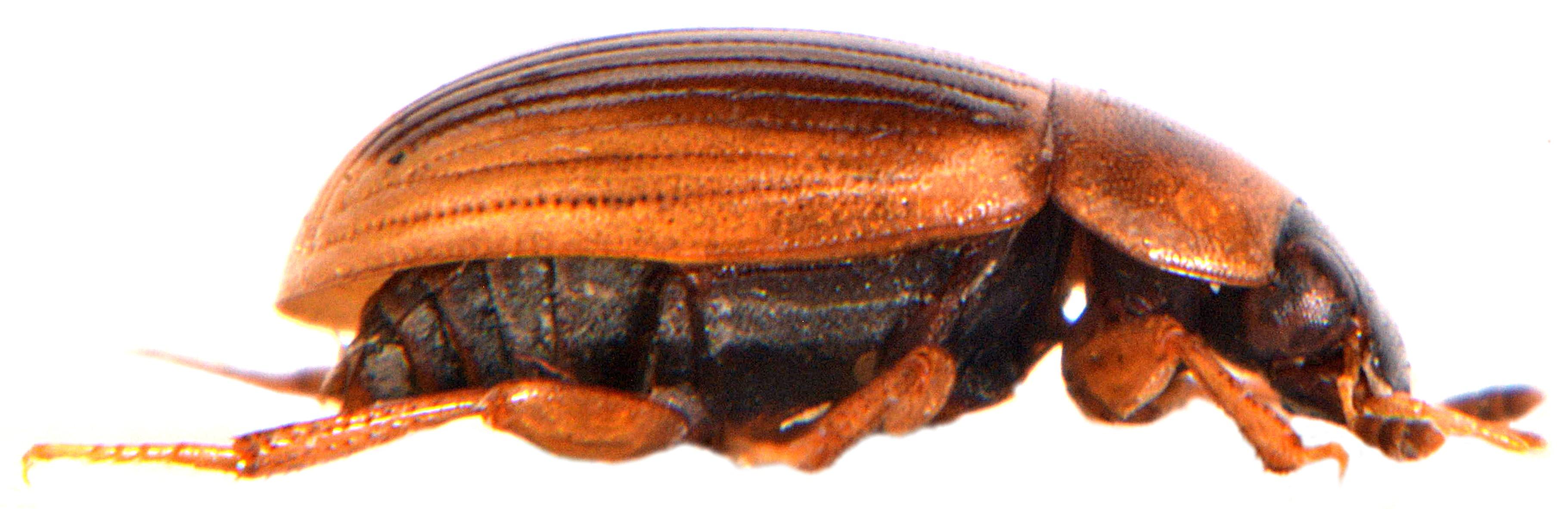 Cercyon laminatus 3