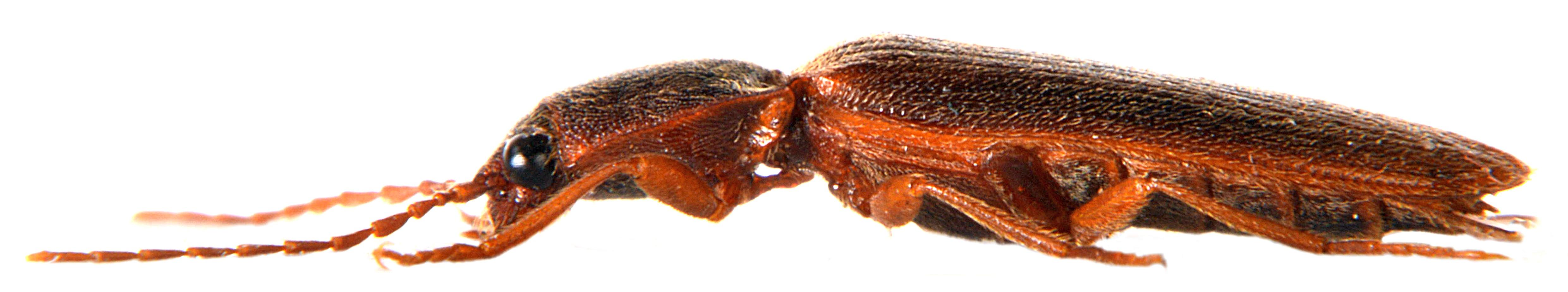 Athous campyloides 4