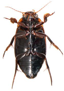 Dytiscus semisulcatus underside