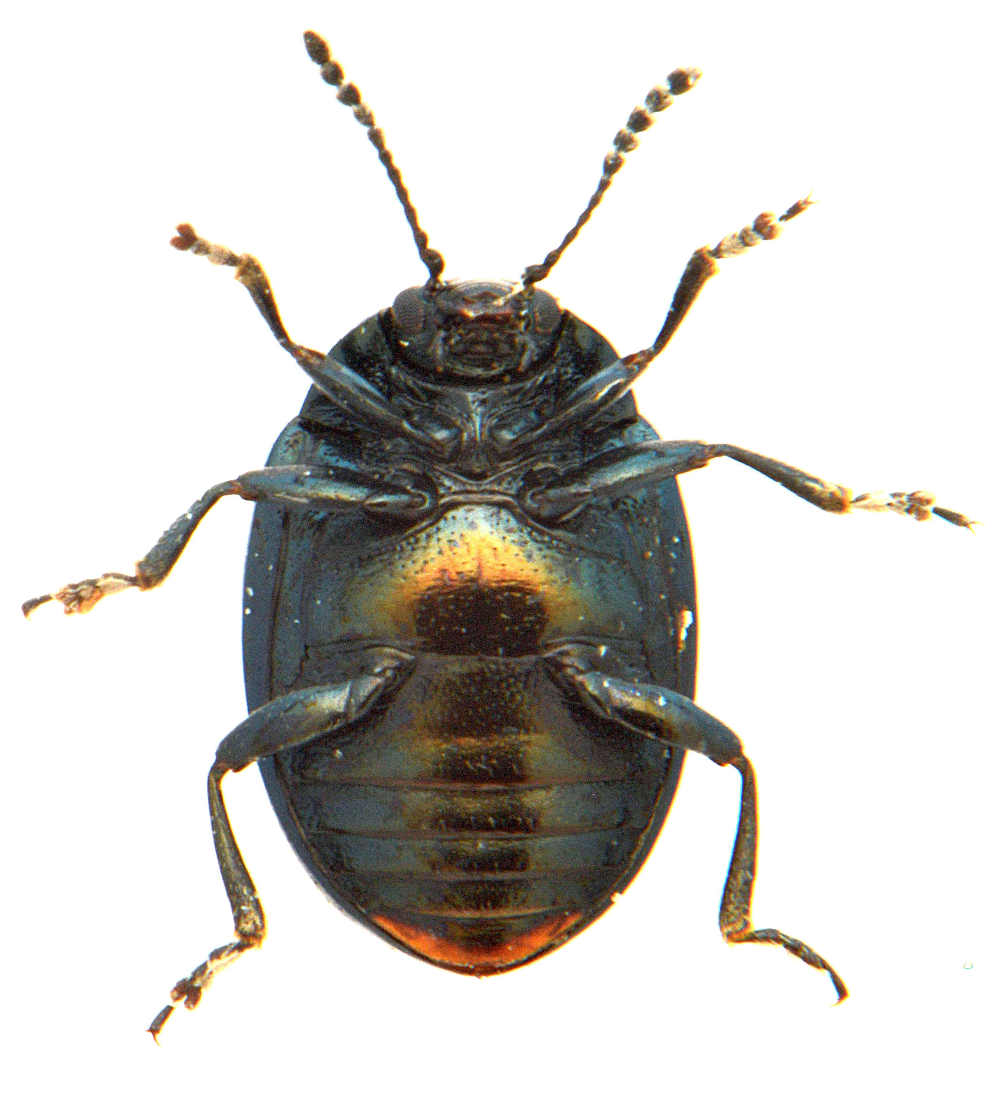 Phaedon armoraciae 3