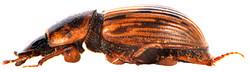 Volinus sticticus 2
