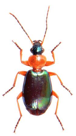 Lebia chlorocephala
