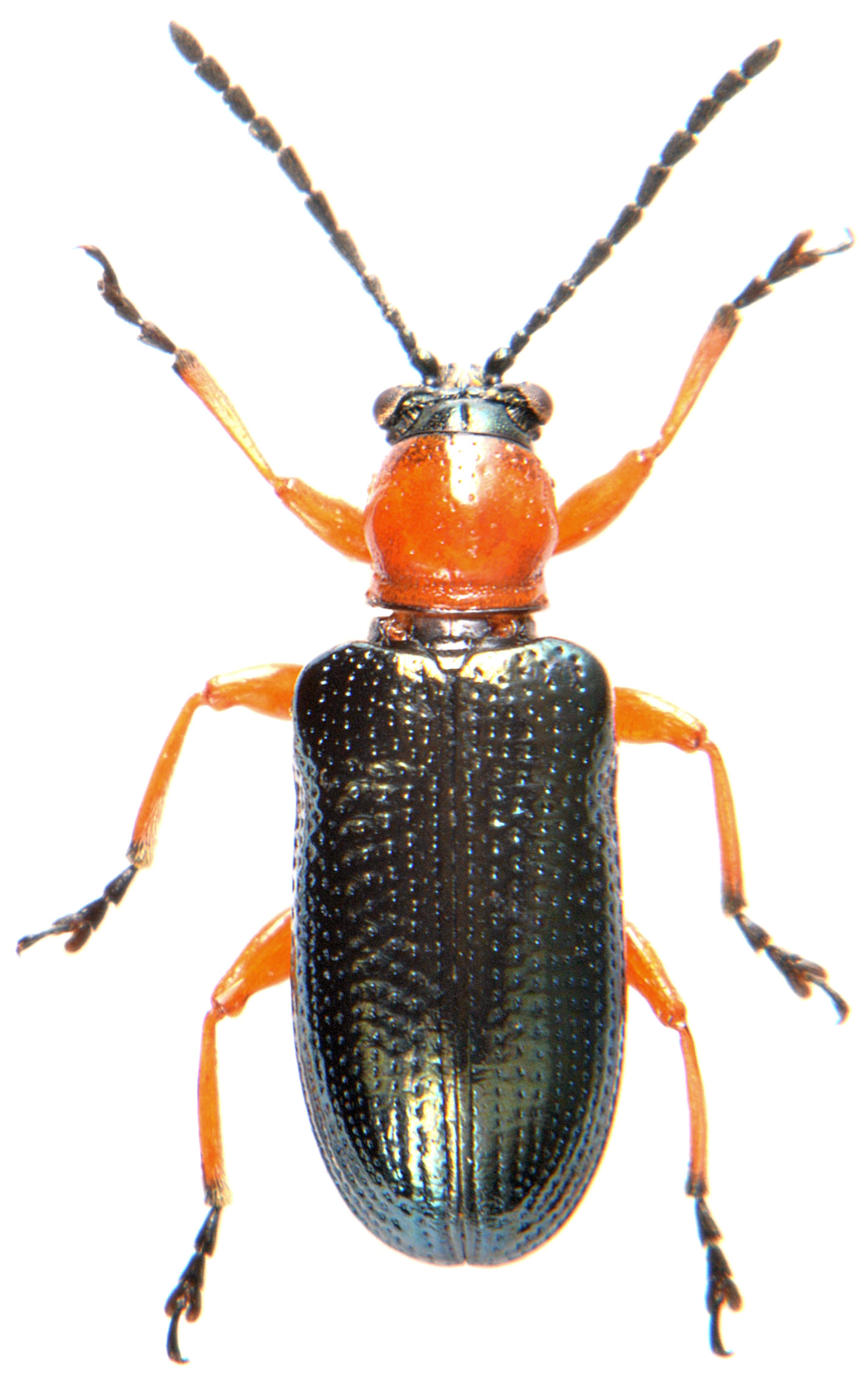 Oulema melanopus