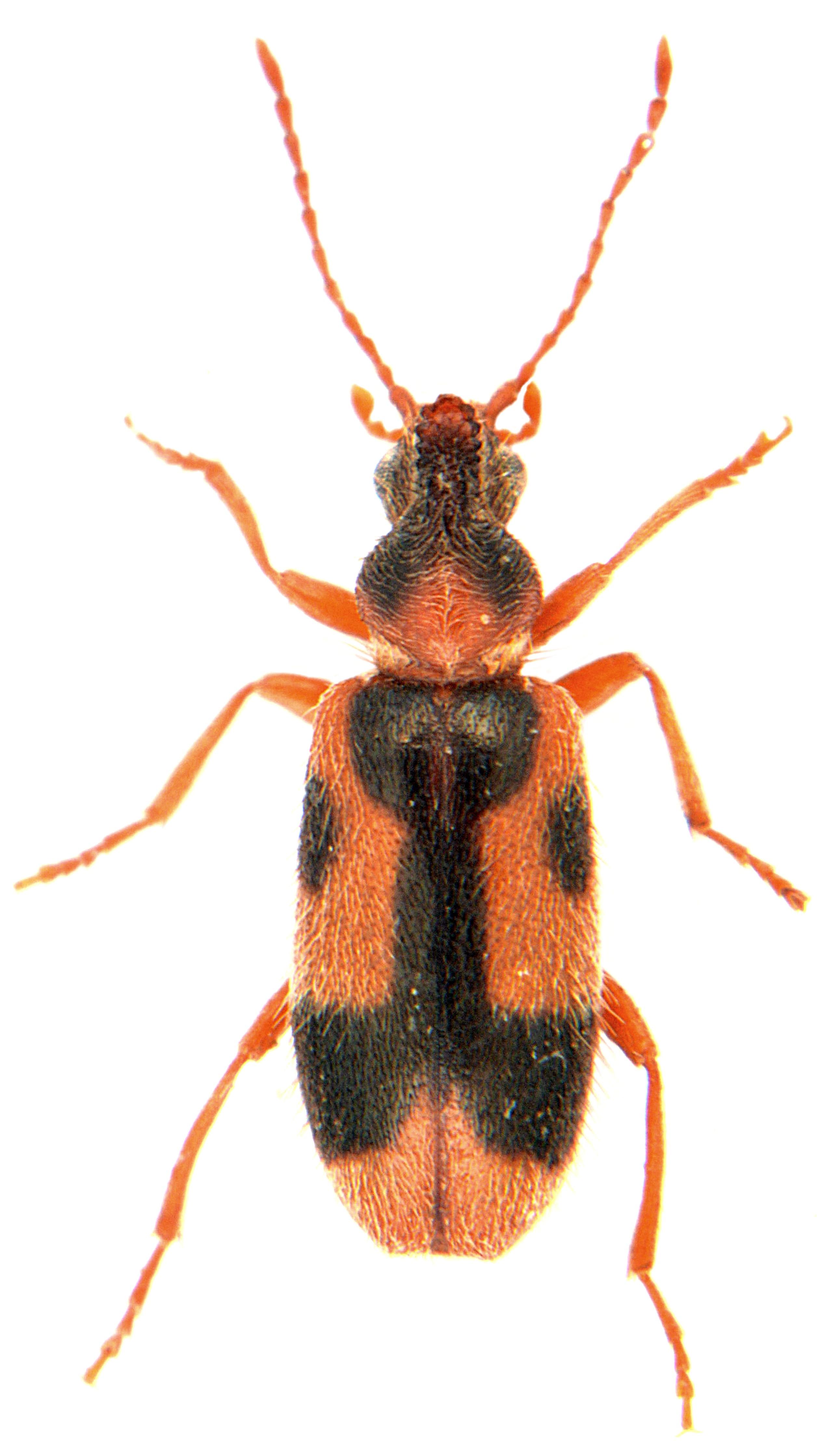Notoxus monoceros 1