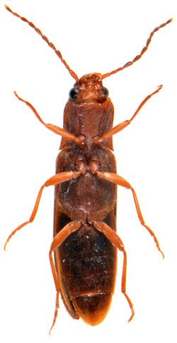 Dalopius marginatus 3