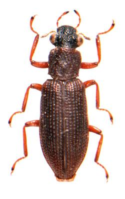 Hydrochus angustatus 1