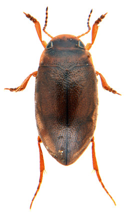 Hydroporus gyllenhalii