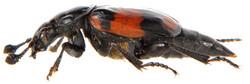 Nicrophorus vespilloides 3