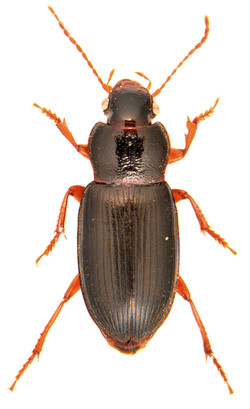 Ophonus puncticeps 1