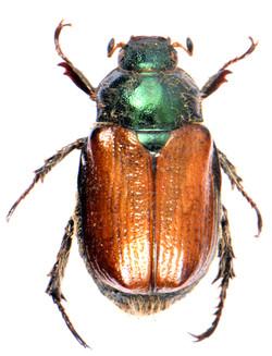 Phyllopertha horticola