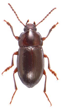 Nalassus laevioctostriatus 2