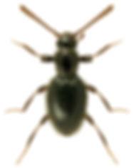 Stenichnus pusillus.jpg