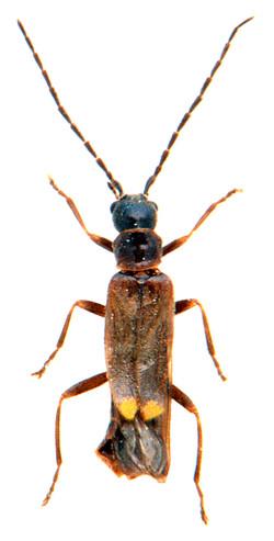 Malthodes fibulatus 2
