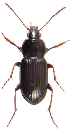 Pterostichus vernalis