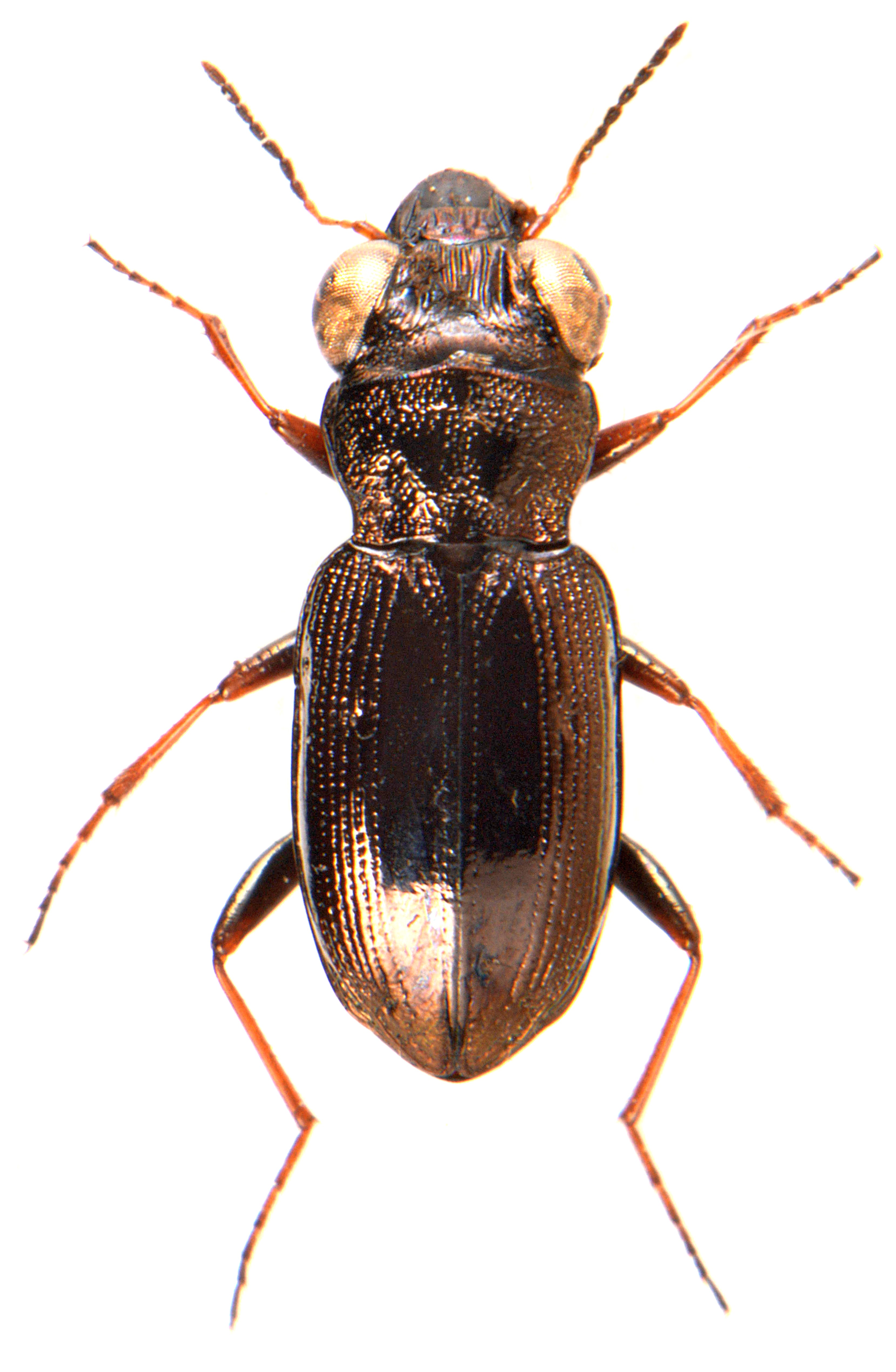 Notiophilus rufipes