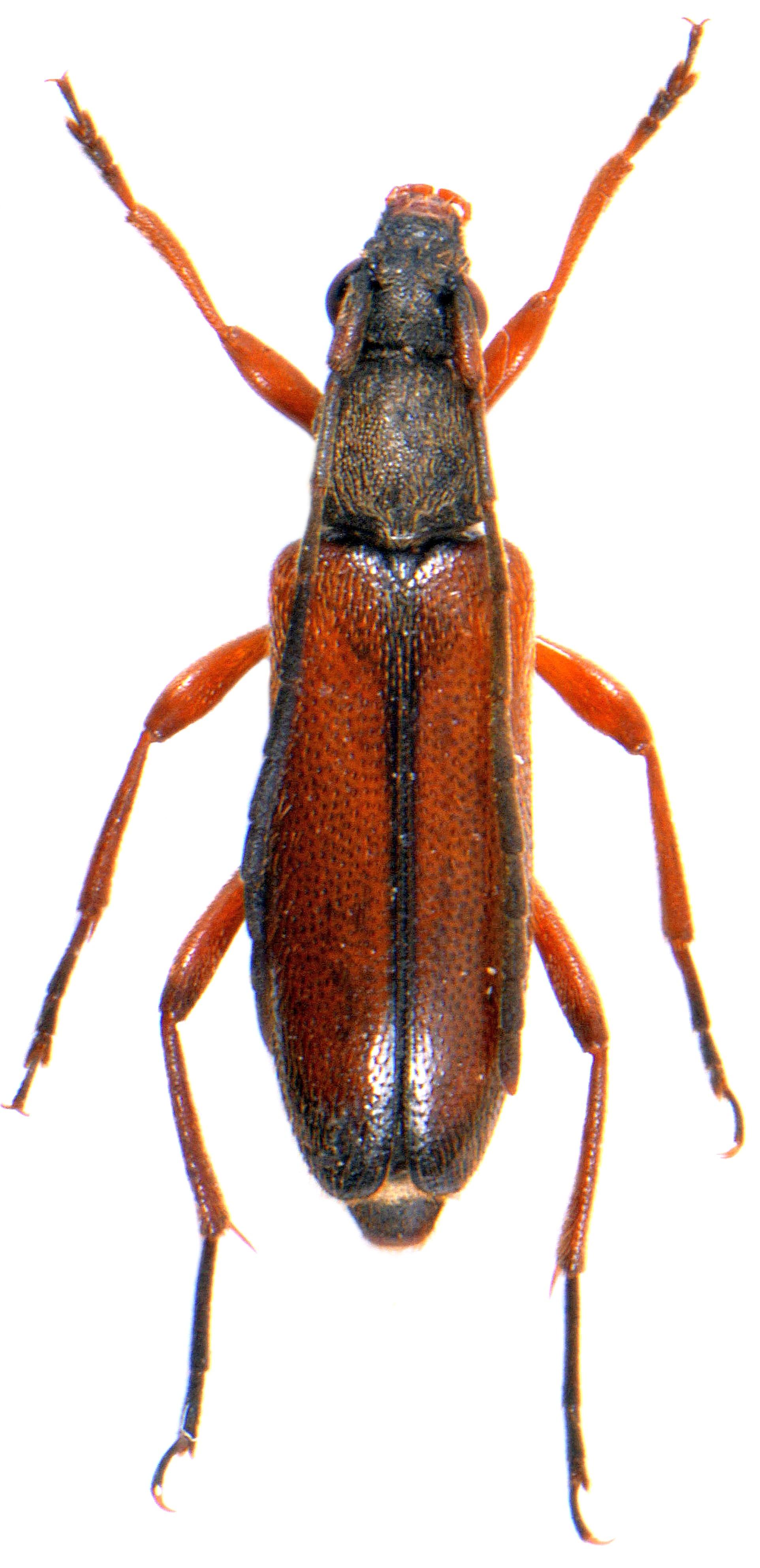 Alosterna tabacicolor 4