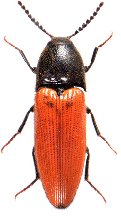 Ampedus cinnabarinus 2