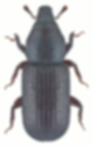 pseudophloeophagus_truncorum_1.jpg