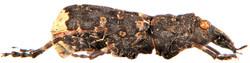 Platyrhinus resinosus 4