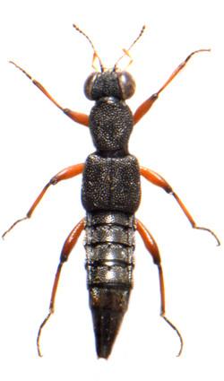 Stenus clavicornis 1