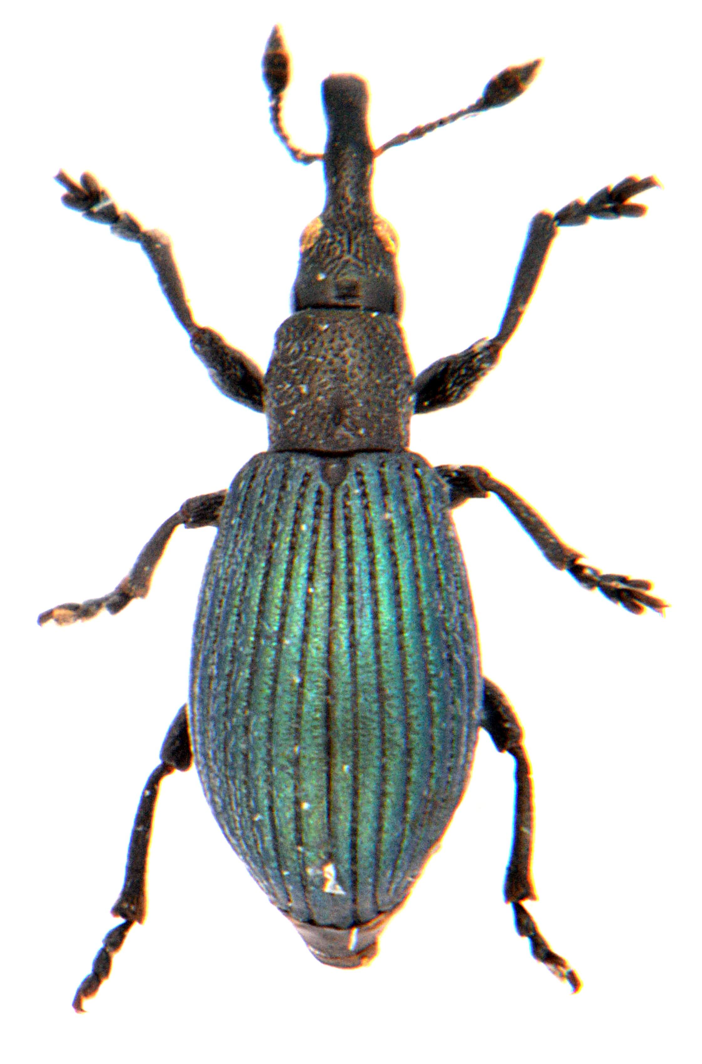 Perapion violaceum 1