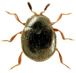 Aspidiphorus orbiculatus