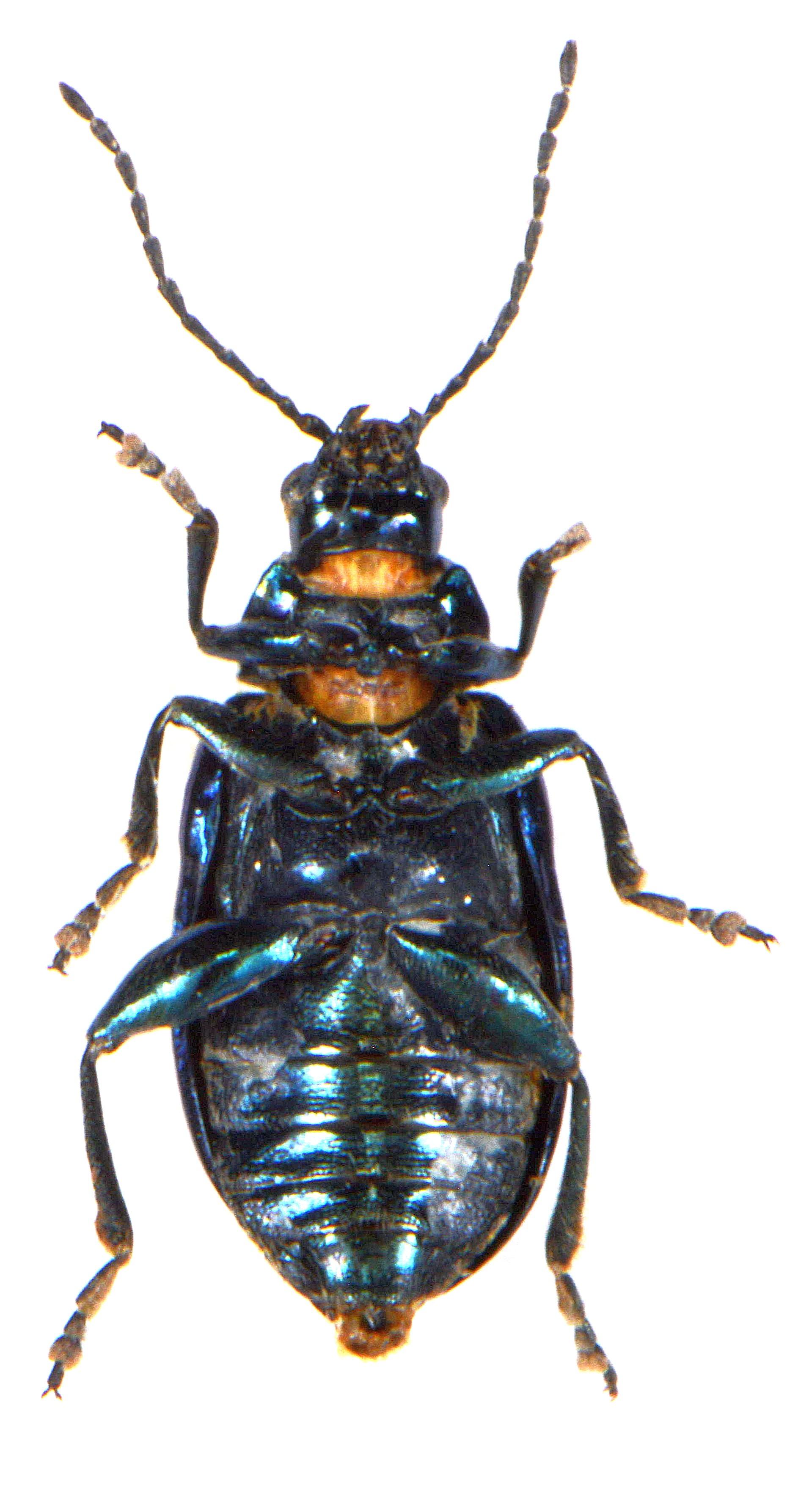 Altica lythri 4