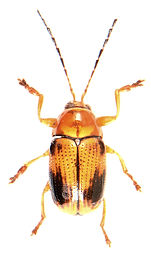 Cryptocephalus pusillus.jpg