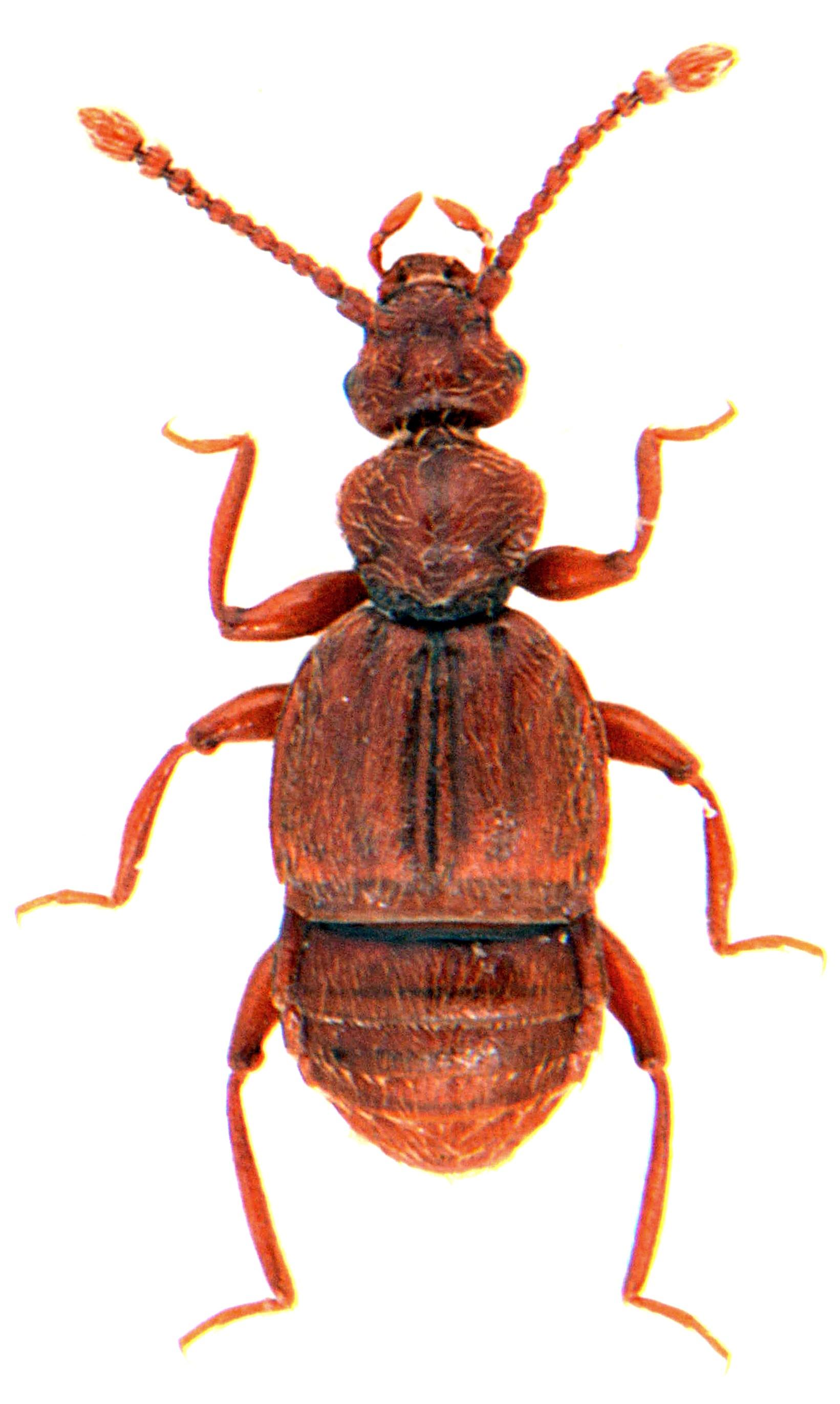 Trichonyx sulcicollis