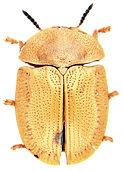 Cassida denticollis 1a.jpg
