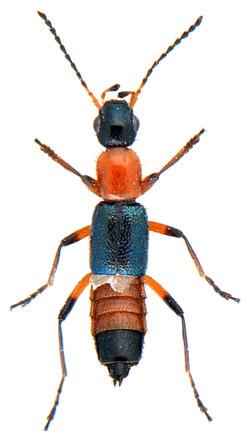 Paederus fuscipes 1