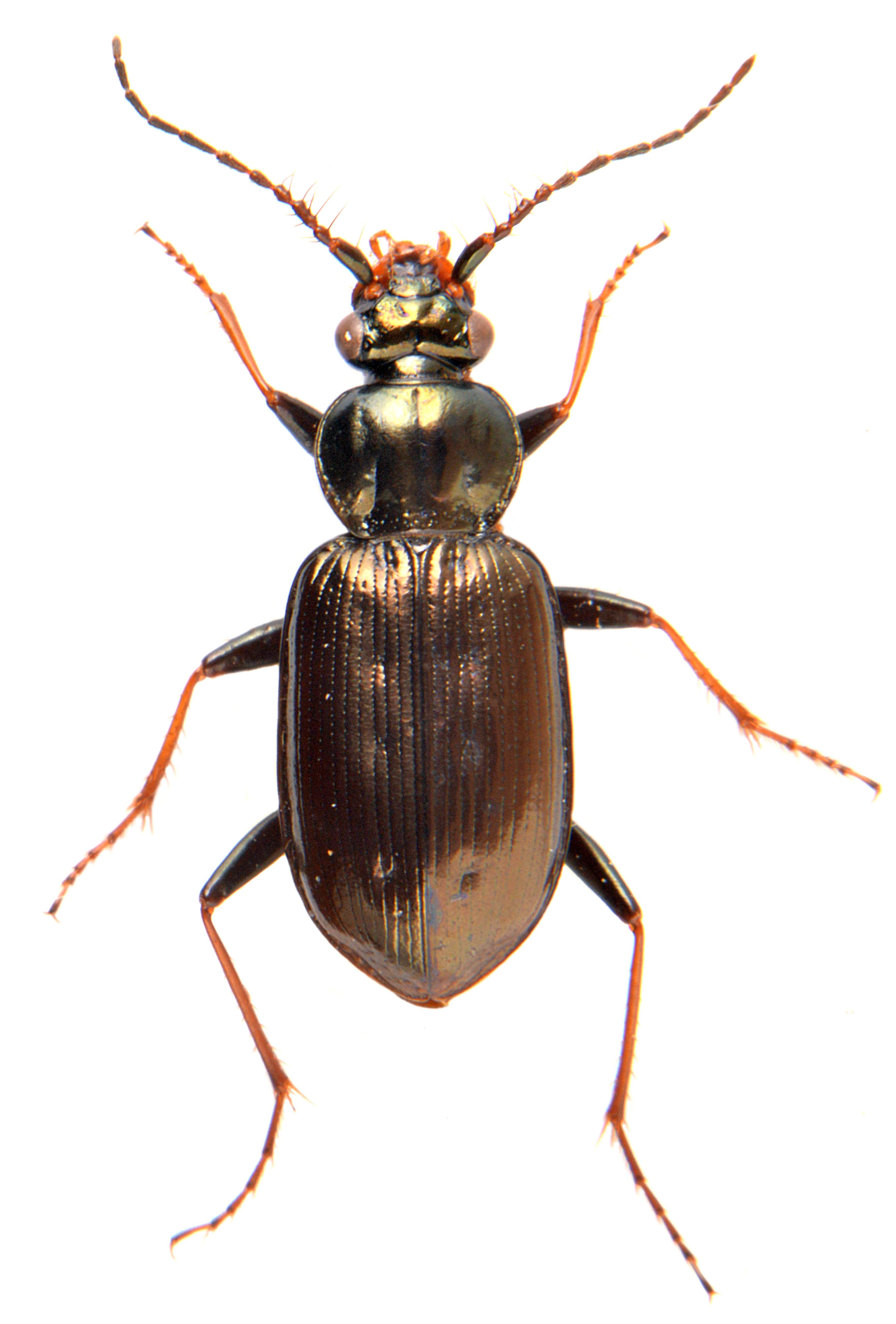 Loricera pilicornis 2