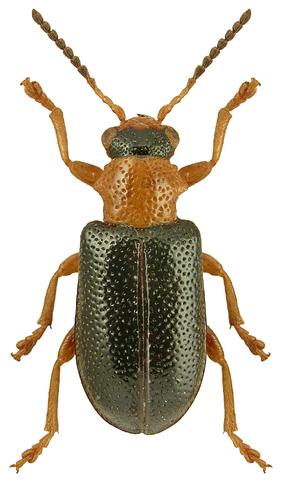 Zeugophora flavicollis
