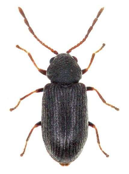 Dryophilus pusillus 1