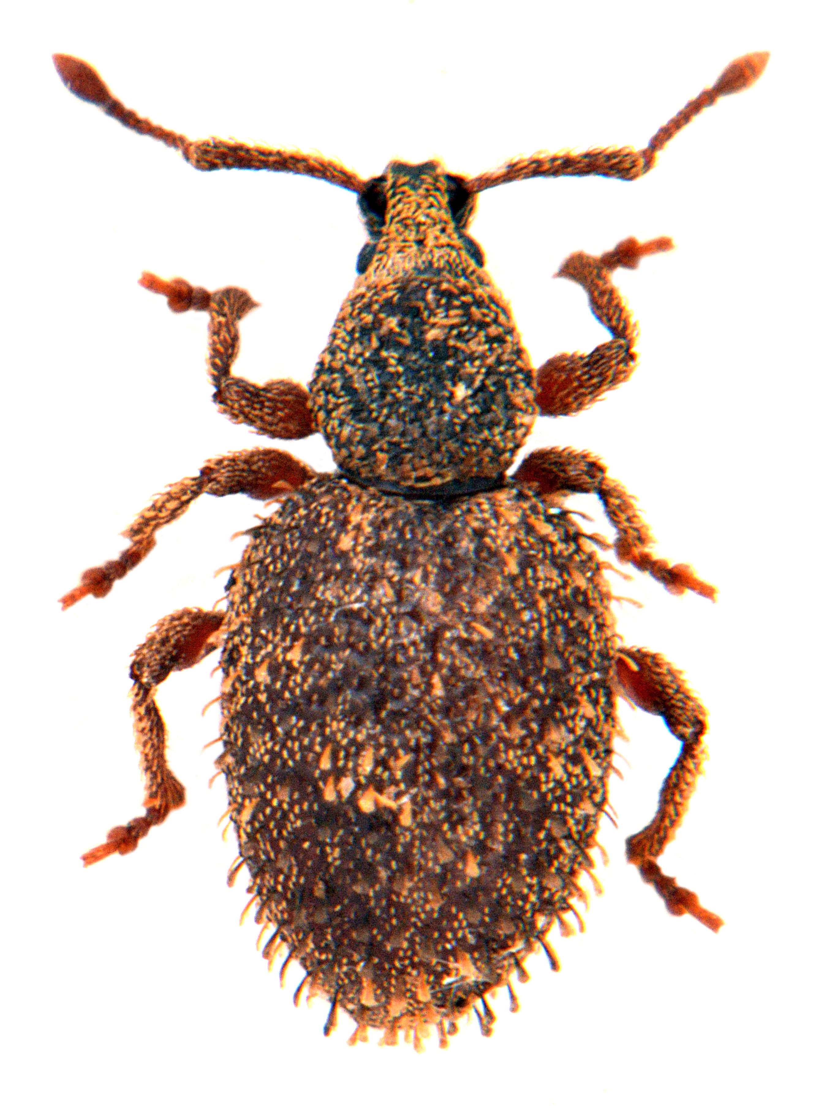 Otiorhynchus uncinatus 1