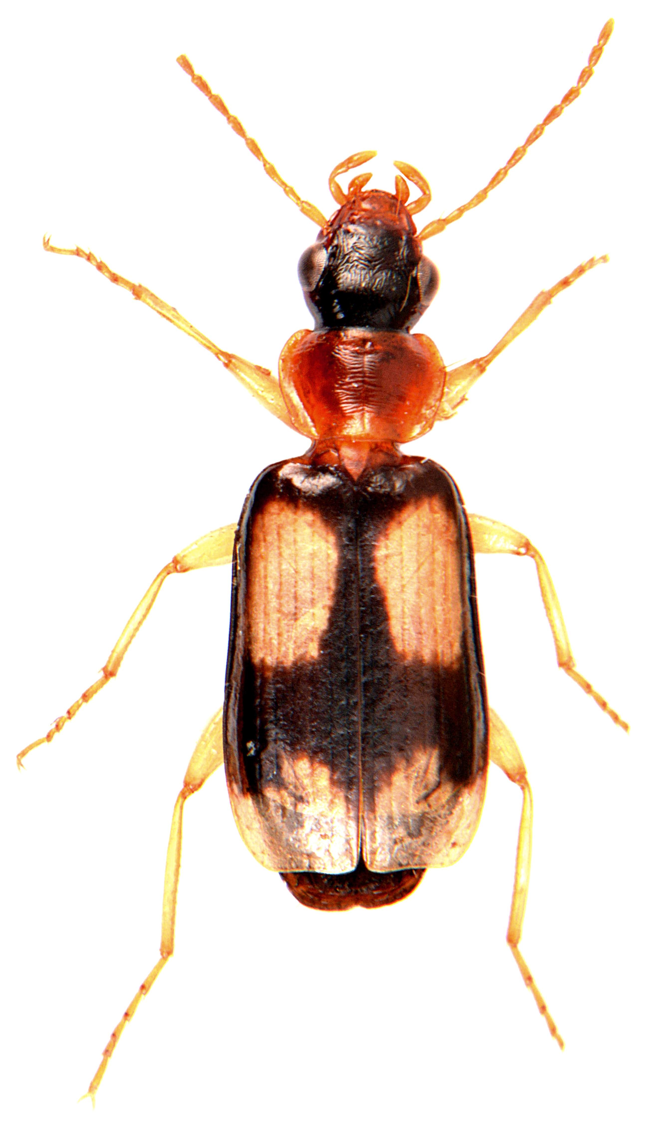 Dromius quadrimaculatus 2