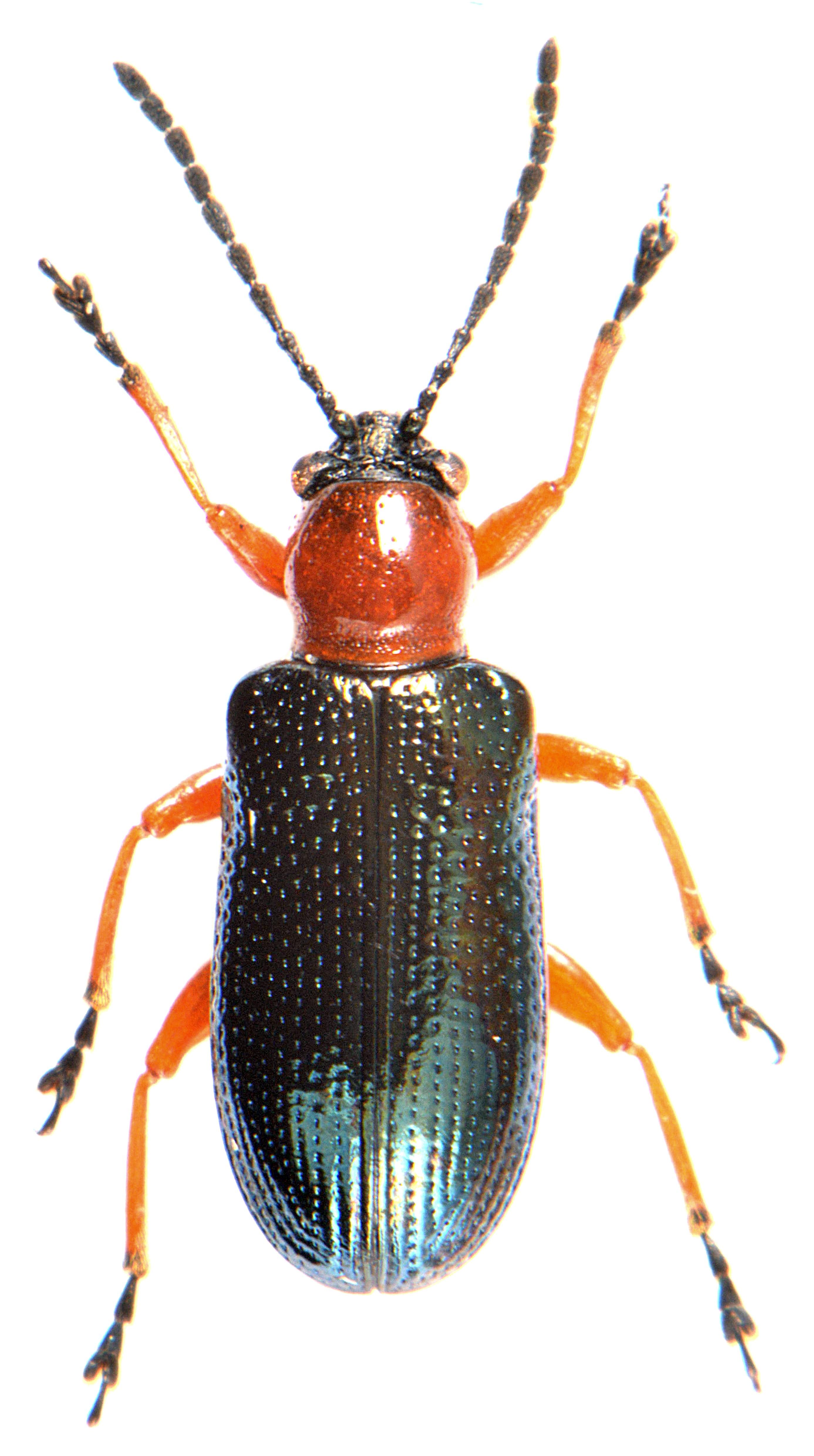 Oulema melanopus 3